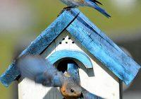 Bluebirds using a nesting box